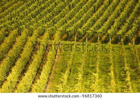A field of cultivated vine plants standing in rows - stock photo