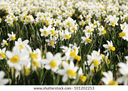 A field of daffodil flowers in springtime.