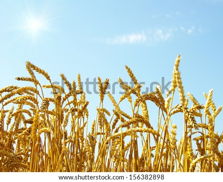 A field of golden wheat and blue sky - stock photo
