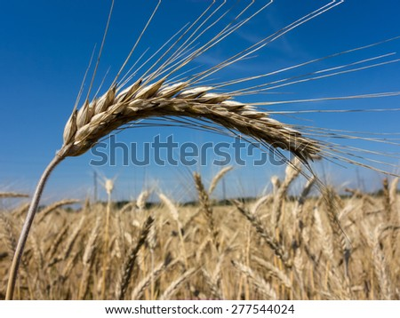 a field of grain (wheat) just before the harvest. cornfields in summer. - stock photo