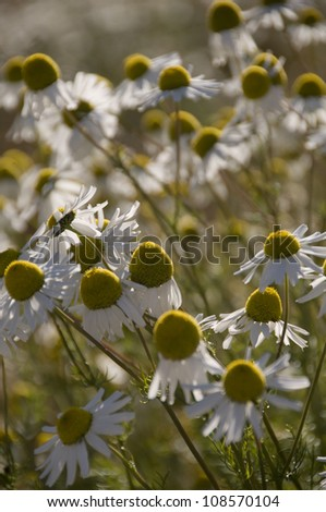 A field of late-season daisies showing enlarged seed heads and drooping petals as the plants focus on seed development. - stock photo