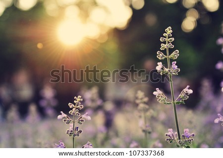 A field of lavender flowers during sunset in New York City - stock photo