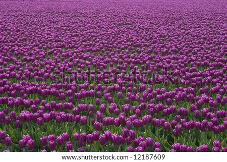 A field of purple tulips at the Skagit Valley Tulip Festival.