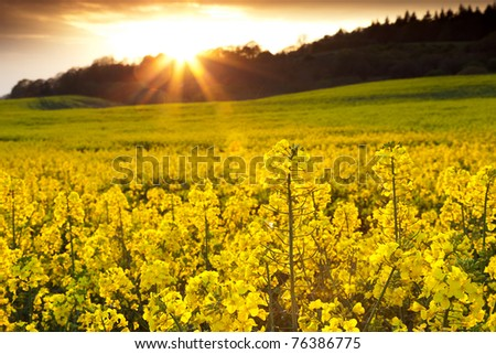 A field of rapeseed flowers with the setting sun creating a sunburst effect in the background.