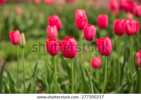 A field of red tulips in May in Michigan