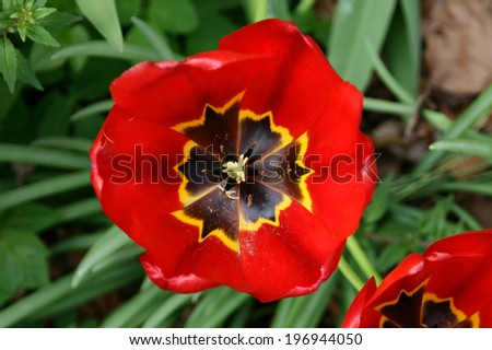 A field of red tulips (Tulipa). (top view) - stock photo