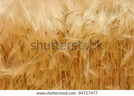 A field of ripe barley. - stock photo