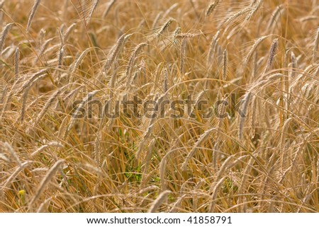A field of ripe cereals. Shallow DOF. - stock photo