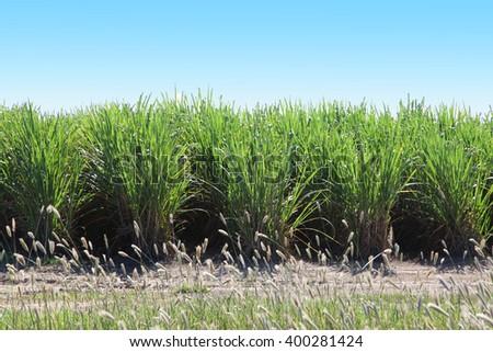 A field of sugar cane in queensland, australia - stock photo