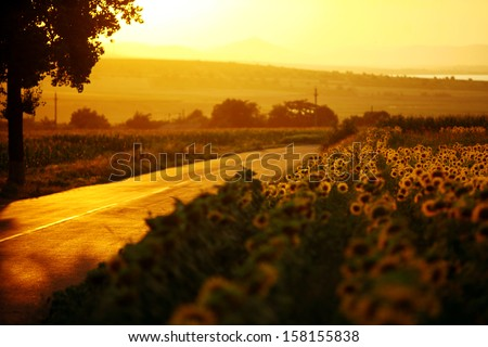 A field of sunflower, by sunset, near a road - stock photo