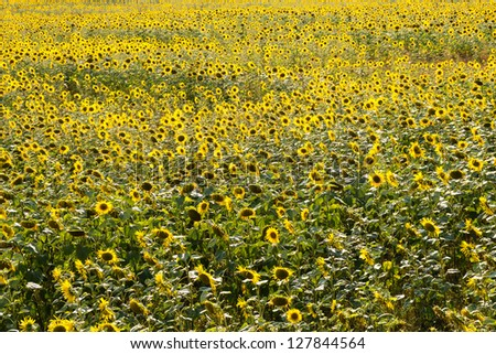 a field of sunflowers - stock photo