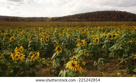 A field of sunflowers with Autumn backdrop. - stock photo