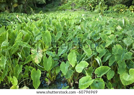 A field of taro plants growing in Hawaii