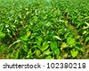 A field of taro plants growing in Thailand. - stock photo