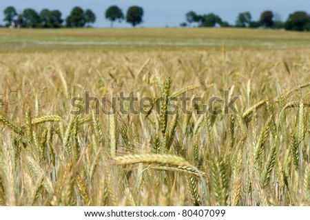 A field of wheat in the sunset. - stock photo