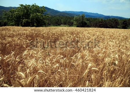 A field of wheat in the town of Hostalric. Catalonia