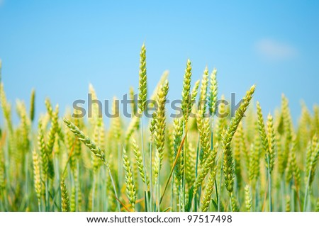 a field of wheat on blue sky background
