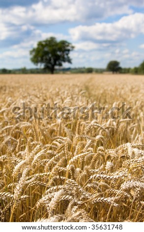 A field of wheat with blue skies, short depth of view and a single tree in the background