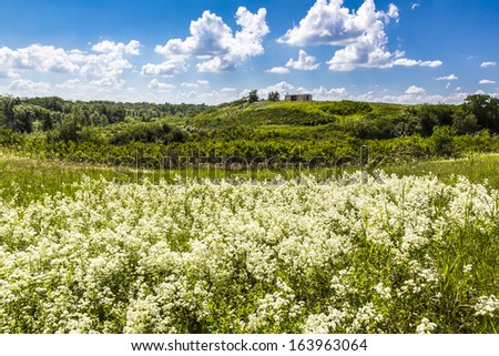 A field of white flowers in the meadow