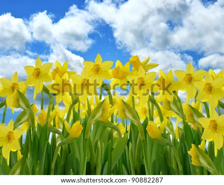 A Field Of Yellow Daffodil Flowers Against A Blue Sky - stock photo