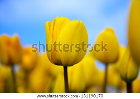 A field of yellow tulips in the spring, with blue skies