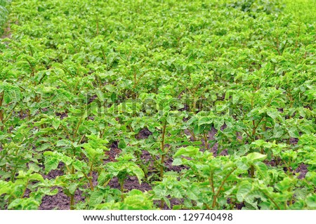 A field planted with potatoes - stock photo