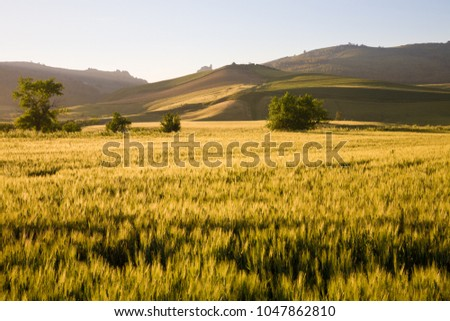 A field with cereals and hills in the background at sunset in the Enna province of central Sicily, Italy