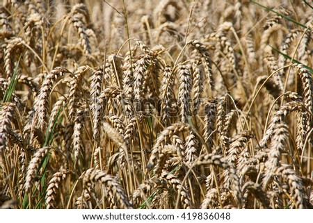 A field with golden wheat. - stock photo