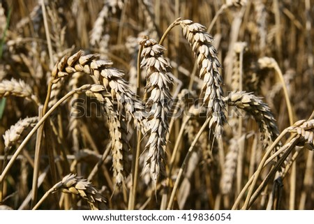 A field with golden wheat. Close up - stock photo