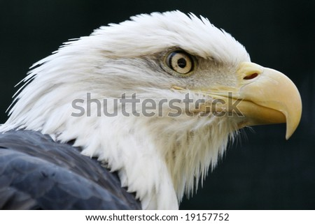 A fierce looking bald eagle ready to attack.