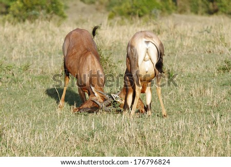 A fight between two Topi antelopes - stock photo