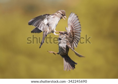 a fight of two sparrows in the sky