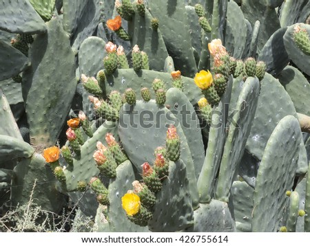 A figs cactus from the canary islands blooming in spring in yellow and orange. - stock photo