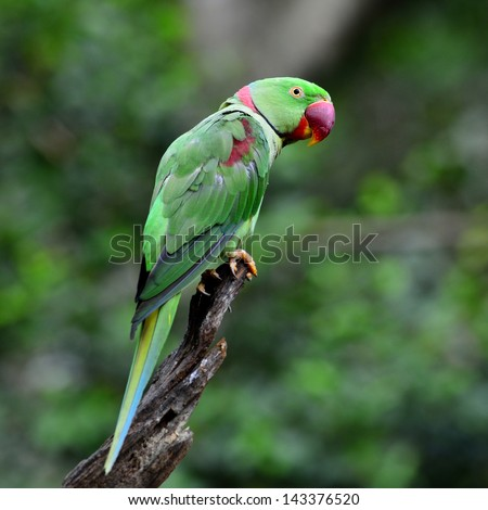 A fine feather and good looking of Alexandrine Parakeet (Psittacula eupatria)