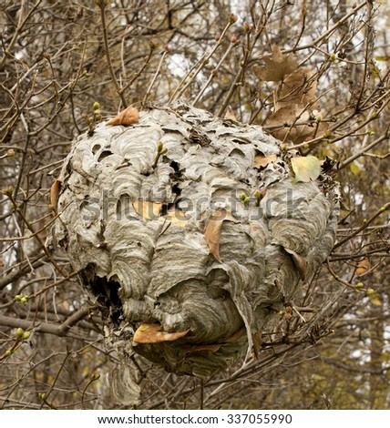 A finished Paper Wasp nest hanging on a Lilac bush in Autumn - stock photo