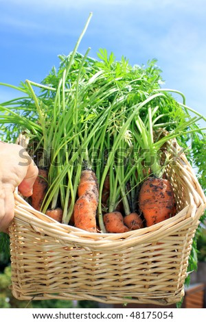 A first crop of organically grown carrots in a square wicker basket being held aloft against a bright blue summer sky. - stock photo