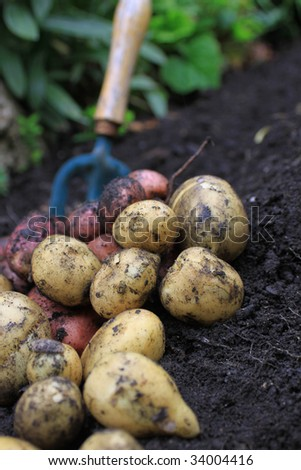 A first harvest of organically grown new potatoes, freshly dug from the ground lying on top of the soil, with a small hand held garden fork in the background. - stock photo