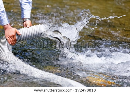 A fish is released to a river. ayu, japan - stock photo