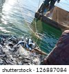 a fisherman scoops up fish from a net - stock photo
