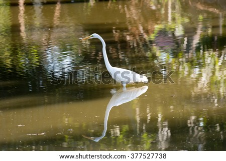 A fishing snowy egret focused on his prey - stock photo