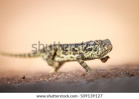 A Flap-necked chameleon walking in the sand in the Kruger National Park, South Africa.
