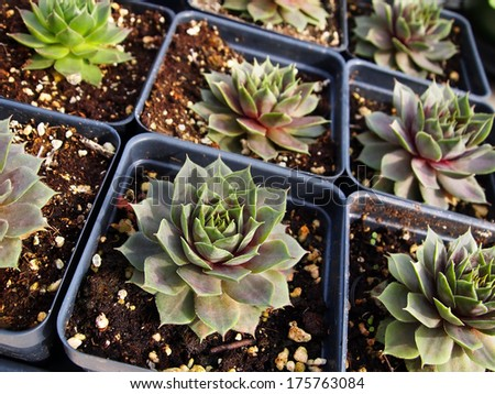 A flat of sempervivum (hens and chicks) plants for sale in individual plastic pots.  - stock photo