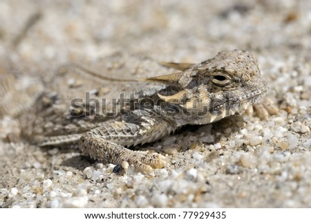 A Flat-tailed horned lizard (Phrynosoma mcallii), a species of special concern, in southern California.