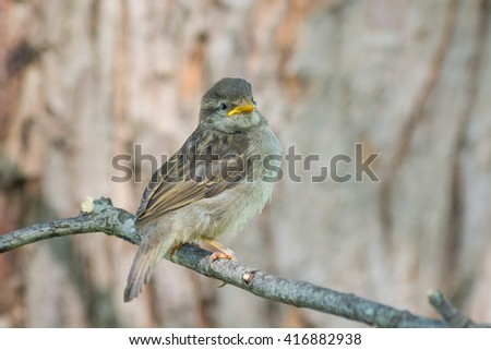 A fledgling sparrow waiting for a parent bird to bring dinner. - stock photo