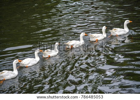 A fleet of white ducks swimming straight in a row in the green pond