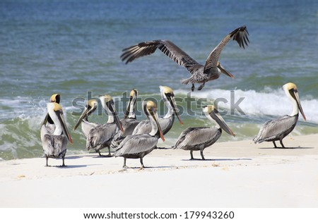 A Flock of Brown Pelicans on a White Sand Florida Beach - stock photo