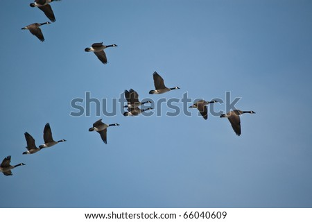 A flock of Canada Geese flies in V-formation. - stock photo