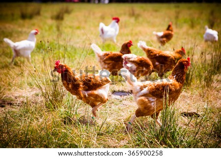 A flock of chickens roam freely in a lush green paddock near Clarkefield in Victoria, Australia - stock photo