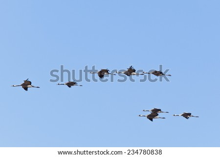 A flock of cranes in the sky