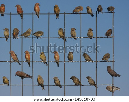 A flock of Cross bills sitting on a wire fence - stock photo